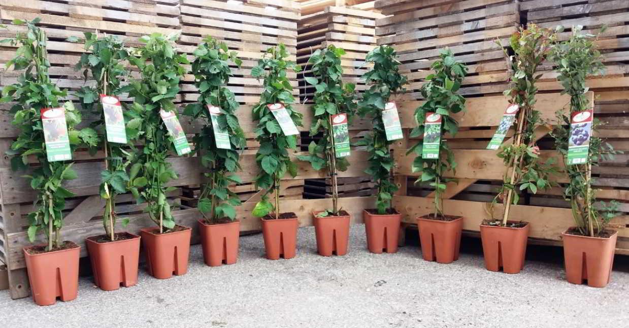 Vendita piante di ribes nero vendita online pianta in vaso for Coltivare more in vaso