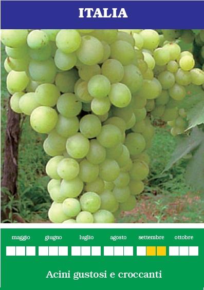 Italia uva da tavola ideale per orti e giardini nel - Uva da tavola italia ...