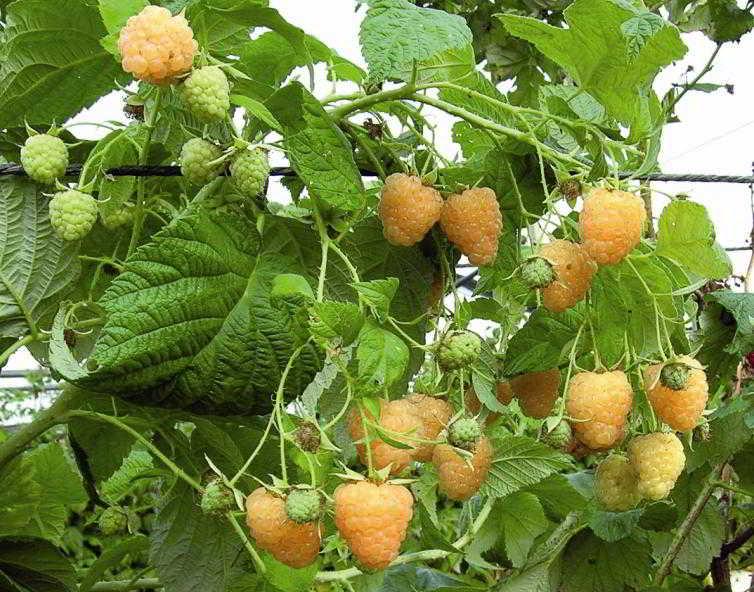 Lampone giallo rifiorente vendita pianta in vaso - Coltivare uva da tavola in vaso ...