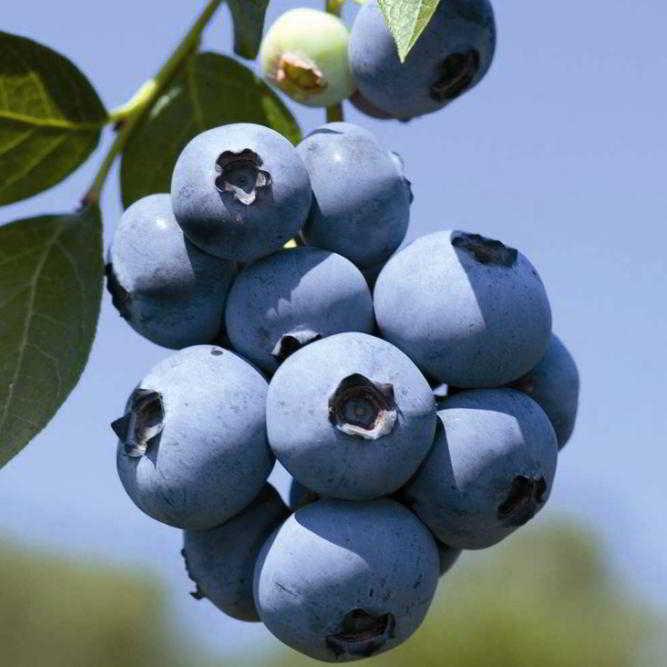 Mirtillo gigante americano vendita online for Vendita piante mirtillo on line