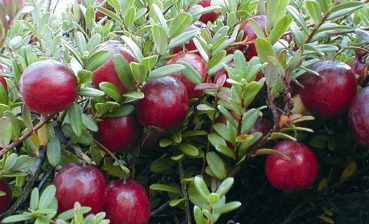 Vendita pianta mirtillo rosso americano for Vendita piante mirtillo on line