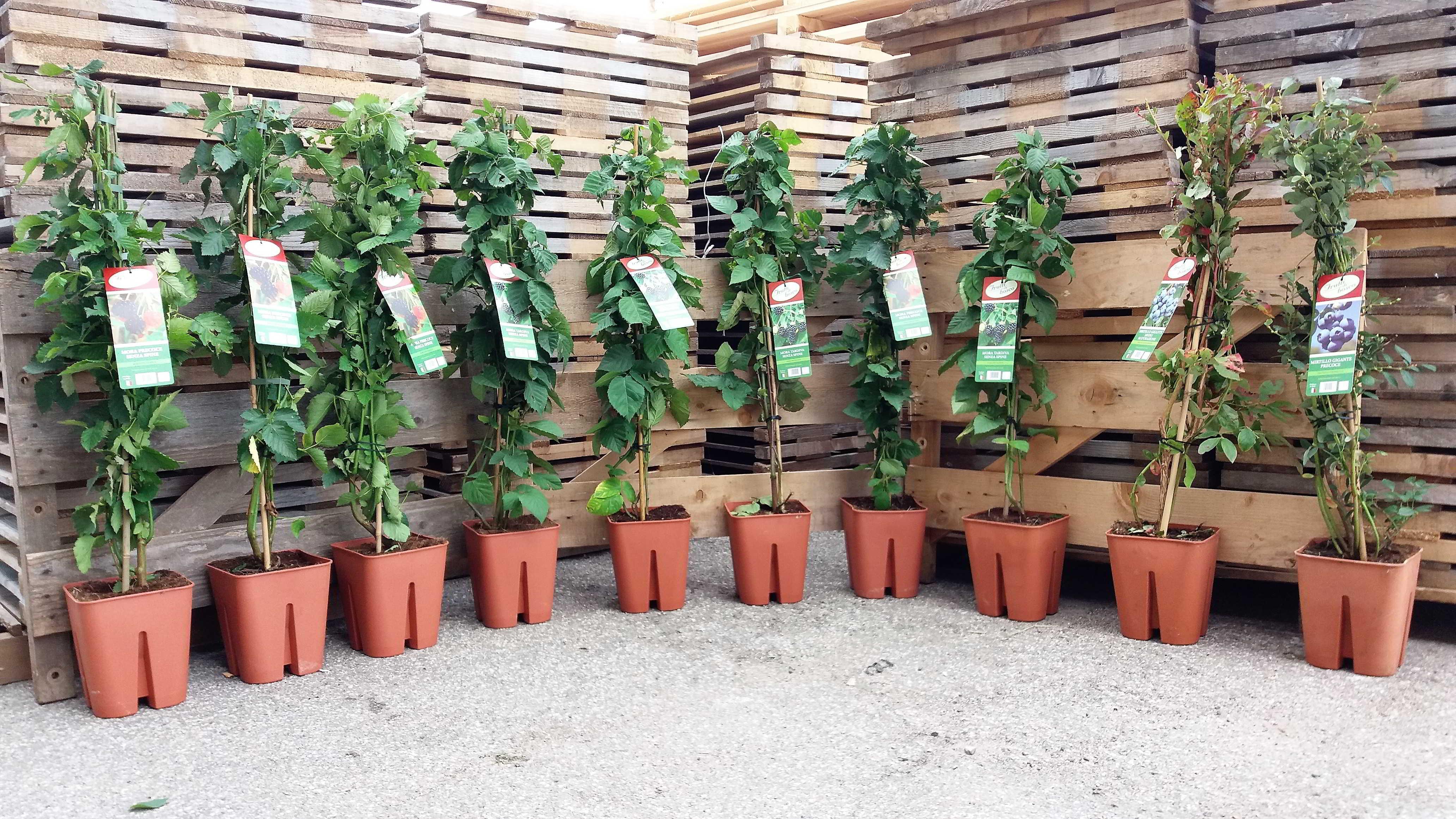 Offerta Piante : Offerta online piante frutti di bosco