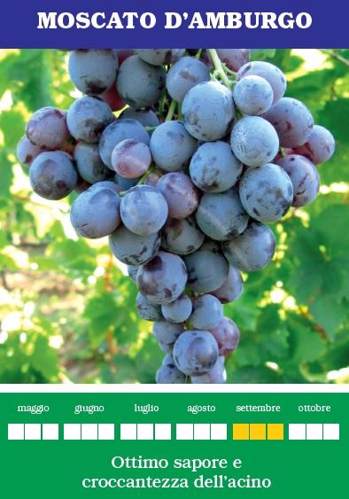 Piante uva da tavola moscato d 39 amburgo for Piante da uva in vaso