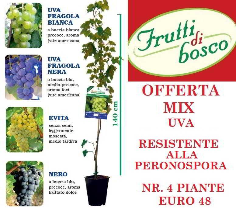 Offerta online piante di uva da tavola for Uva fragola in vaso