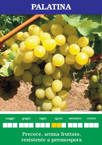 Palatina vite resistente alle malattie vendita online - Coltivare uva da tavola in vaso ...