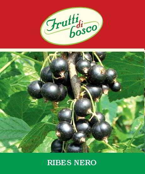 Vendita piante di ribes nero vendita online pianta in vaso - Coltivare uva da tavola in vaso ...
