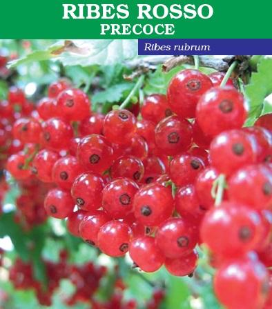 Vendita piante di ribes precoce acquisto online pianta in vaso - Coltivare uva da tavola in vaso ...