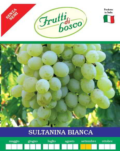 Sultanina bianca uva da tavola uva da tavola shop online - Uva da tavola bianca ...