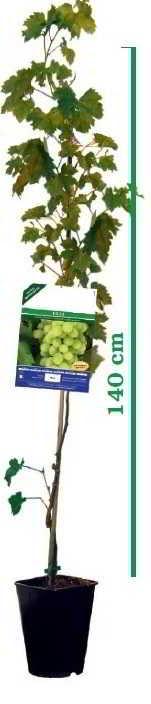 Uva fragola nera vite resistente vendita e offerta online vaso 20 - Uva da tavola precoce ...