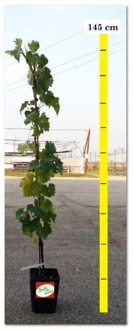 Offerta online piante di uva da tavola for Piante da uva in vaso