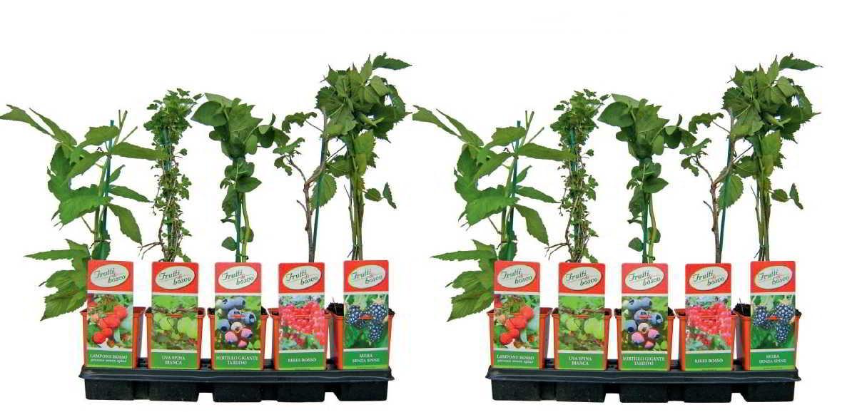 Piante Di Frutti Di Bosco : Mirtillo gigante tardivo vendita piante online